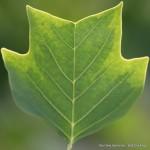 Blatt eines Tulpenbaumes (Liriodendron tulipifera 'Variegata')
