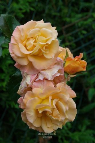 Sunrise ist der Name dieser Rose