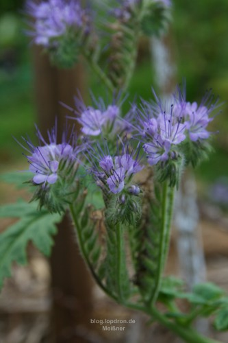 Phacelia die Bienenweide, diese Pflanze hat den Frost überlebt.