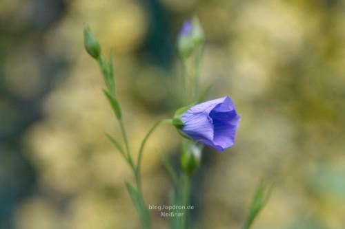 Blaues Wunder der Lein von Bantam