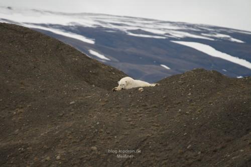 Eisbär ohne Hunger aber mit Ruhebedürfnis