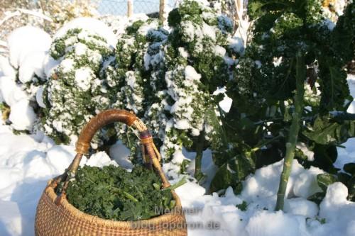 Grünkohl, Ernte bei Frost