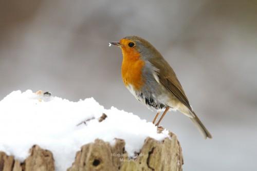 Kältetollerannter Vogel