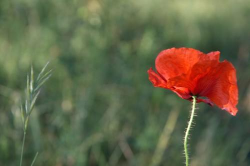 Ausschnitt aus einer Wildblumenwiese in der Eifel
