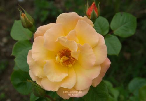 Rose Sunrise - beide Pflanzen haben die Jahre in alten Garten und das Umpflanzen überlebt.