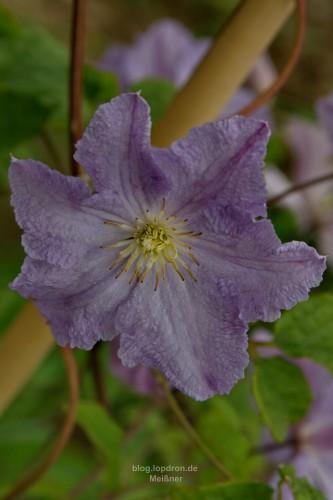 """Clematis """"Blue Angel"""" aus Mitleid letzten Herbst im Baumarkt mitgenommen dankt mit vielen Blüten"""