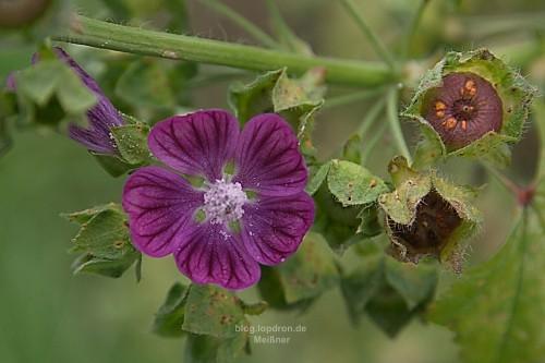 Eine der letzten Blüten meiner selbst gezogenen Malve - Zeit für die Saatgutgewinnung