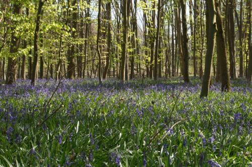 Der Wald wird blau