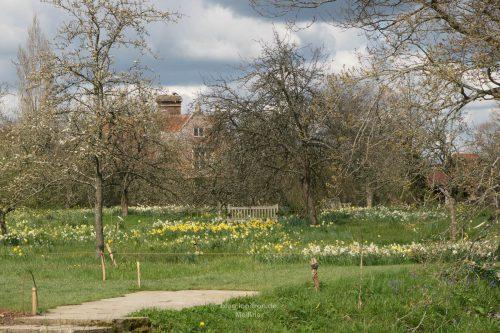 Obstgarten als Narzissenwiese.