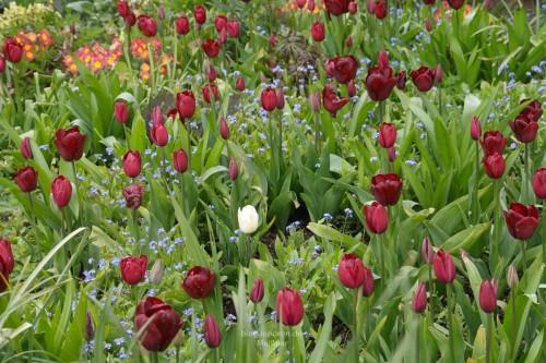 Tulpen, Tulpen und noch mehr Tulpen