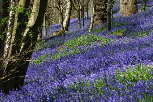 Viele blaue Blumen